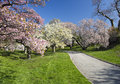 Japanese cherry blossoms blossom orchard in full bloom Royalty Free Stock Image
