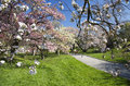 Japanese cherry blossoms blossom orchard in full bloom Stock Photos