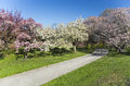 Japanese cherry blossoms blossom orchard in full bloom Royalty Free Stock Photo