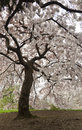 Japanese cherry blossoms under blossom tree canopy Royalty Free Stock Image