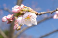 Japanese cherry flower on blue sky Stock Images