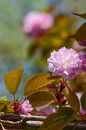 Japanese cherry flower sakura or yoshino prunus x yedoensis focus on in foreground against blurred natural background Royalty Free Stock Photo