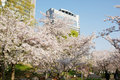 Japanese cherry and modern building Royalty Free Stock Photo