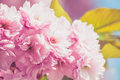 Japanese cherry in springtime Royalty Free Stock Photo
