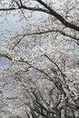Japanese cherry trees in bloom Stock Photo