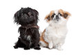 Japanese Chin and a pekingese dog Royalty Free Stock Photography