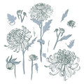 Japanese chrysanthemum set. Collection with hand drawn buds, flowers, leaves. Vintage style illustration.