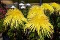 Japanese chrysanthemum Royalty Free Stock Photo