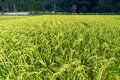 Japanese countryside rice field Royalty Free Stock Photo