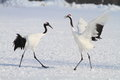 Japanese crane or Red-crowned Crane Royalty Free Stock Photo