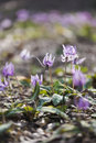 Japanese dog's tooth violet flowers,in Showa Kinen Park,Tokyo,Japan Royalty Free Stock Photo