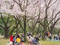 Japanese enjoying cherry blossoms festival in korakuen garden Royalty Free Stock Photo