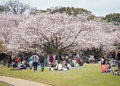 Japanese enjoying Cherry blossoms festival in park Royalty Free Stock Photo