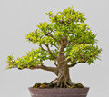 Japanese Evergreen Bonsai on Display Royalty Free Stock Image