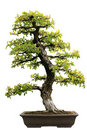 Japanese Evergreen Bonsai at Isolated Royalty Free Stock Photos