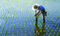 Japanese Farmer Tending The Rice Paddy Royalty Free Stock Photo
