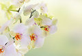 Japanese flower orchid beauty flora card Royalty Free Stock Photo