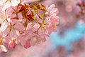 Japanese flowering cherry on a cluster with buds prunus accolade on bright background Royalty Free Stock Photos