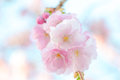 Japanese flowering cherry prunus accolade in a cluster on bright background Stock Photos