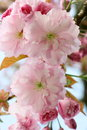 Japanese Flowering Cherry  (Pr...