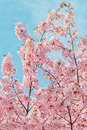 Japanese flowering cherrytree prunus accolade on bright blue sky Stock Photography