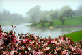 Japanese Garden Fog with Pink Blossoms Royalty Free Stock Photo