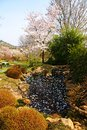 Japanese garden pond in a blossoming cherry tree by a in cherry blossoms on a Stock Images
