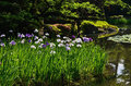 Japanese garden in spring, blooming iris. Kyoto Japan. Royalty Free Stock Photo