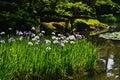 Japanese garden in spring, blooming iris. Kyoto Japan. Royalty Free Stock Photo