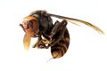Japanese giant hornet Royalty Free Stock Photo