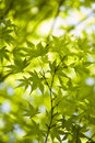 Japanese green Stock Photography