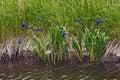 Japanese iris iris laevigata called rabbitear shallow flowered and kakitsubata also Royalty Free Stock Photo