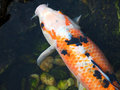 Japanese Koi Carp fish Royalty Free Stock Images