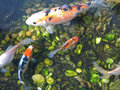 Japanese Koi Carp fishes Royalty Free Stock Photos