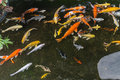 Japanese Koi Fish in the pond Royalty Free Stock Photo