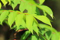 Japanese lacquer tree toxicodendron vernicifluum in japan Stock Image