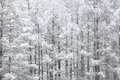 Japanese larches covered with snow Royalty Free Stock Photo