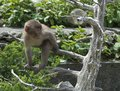 Japanese Macaque Baby Royalty Free Stock Photo