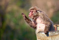 Japanese macaque macaca fuscata in old tin bucket Stock Photos