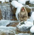 Japanese macaque near the natural hot springs. The Japanese macaque ( Scientific name: Macaca fuscata), also known as the snow Royalty Free Stock Photo