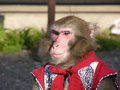 Japanese macaque in show-costume Royalty Free Stock Photography