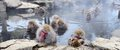 Japanese macaques snow monkeys in nagano japan Stock Photos