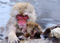 Japanese macaques snow monkeys in nagano japan Stock Images