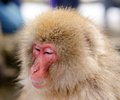 Japanese macaques snow monkeys in nagano japan Royalty Free Stock Photo