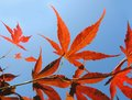 Japanese maple acer japonicum leaves of Stock Photos