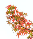 Japanese maple in autumn season Royalty Free Stock Photos