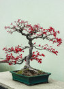 Japanese maple bonsai a at the greenhouse of the montreal botanical garden Stock Image