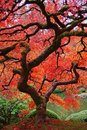 Japanese maple with fire red leaves and serpentine trunk and branches in the fall Stock Image