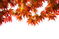 Japanese maple isolated with white background Stock Images