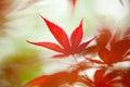 Japanese maple leaf Royalty Free Stock Photo